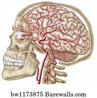 55 Facial artery Posters and Art Prints | Barewalls
