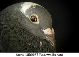 383 Racing pigeon Posters and Art Prints | Barewalls