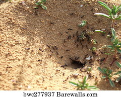 Sand anthill, active nest with ant, Art Print | Barewalls Posters