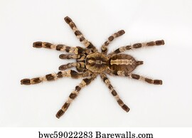 49 Poecilotheria Posters and Art Prints   Barewalls