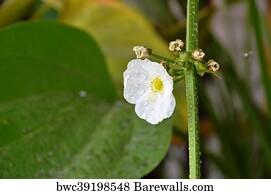 Arrowhead Flowers Art Print Poster - Arrowhead Amazon Water Flower
