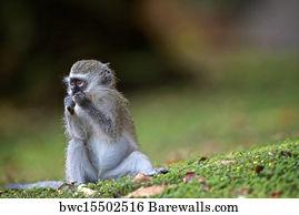 vervet baby monkey art print poster baby monkey