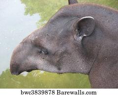 CANVAS Brazilian Tapir Calf Art print POSTER