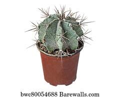 Affiche Poster Art Print Plante Grasses Cactus Astrophytum Ornatum