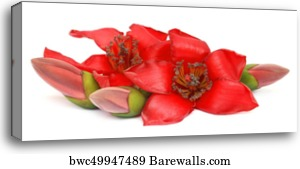 Silk cotton tree, Ceiba pentandra, kapok, Canvas Print   Barewalls