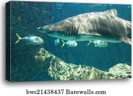 Dangerous bull shark jaw huge, Canvas Print | Barewalls