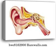 1054 ear canal canvas prints and ear canal canvas art barewalls ear canal canvas print human ear cutaway diagram ccuart Gallery