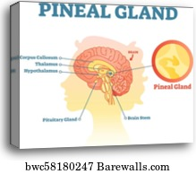 Posterior pituitary hormone , Canvas Print   Barewalls