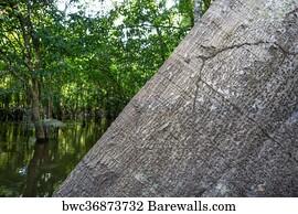 Kapok Tree, Ceiba Pentandra, Art Print | Barewalls Posters