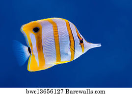 COPPERBAND BUTTERFLY FISH Animal Poster 3461 Poster Print Art A1 A2 A3 A4