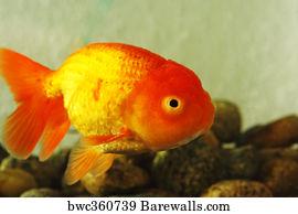 148 Oranda goldfish Posters and Art Prints | Barewalls