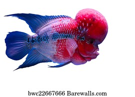 88 flower horn fish posters and art prints barewalls rh barewalls com Baby Flowerhorn Fish Flowerhorn Fish Cute