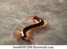 104 Scolopendra centipede Posters and Art Prints | Barewalls