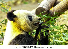 194 baby panda eating bamboo posters and art prints barewalls