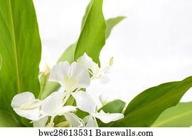 109 white ginger lily posters and art prints barewalls white ginger lily art print poster ginger lily flower mightylinksfo