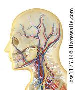 lingual artery
