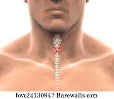 thyreoidea