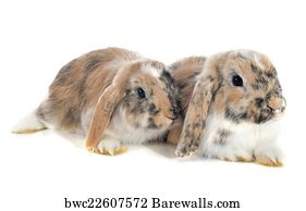 21 English Lop Eared Rabbit Posters And Art Prints Barewalls