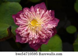832 national flower of india posters and art prints barewalls national flower of india art print poster lotus flower nelumbo nucifera mightylinksfo