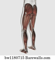20 Anatomy of male muscular system side view Posters and Art Prints ...