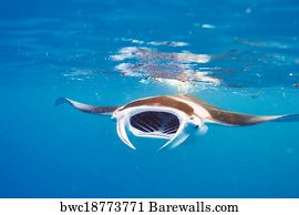 e1e289914 Manta Ray Art Print Poster - Manta Ray Floating Underwater