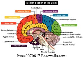 122 pineal gland posters and art prints barewalls pineal gland art print poster median section of human brain diagram ccuart Gallery