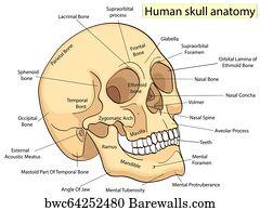 lacrimal bone art print poster - medical education chart of biology human  skull diagram  raster
