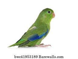 Art Print Of Pacific Parrotlet In Studio Barewalls Posters