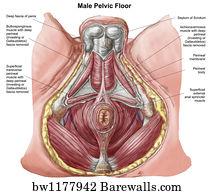 2 Bulbospongiosus Muscle Posters And Art Prints Barewalls