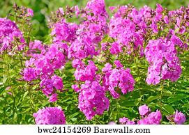 244 perennial phlox posters and art prints barewalls perennial phlox art print poster pink phlox flowers in garden mightylinksfo Image collections