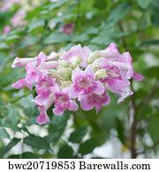 Art print of pink trumpet vine flower barewalls posters prints pink trumpet vine flower mightylinksfo