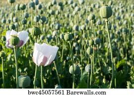 524 poppy seed pod posters and art prints barewalls poppy seed pod art print poster poppy seed flower mightylinksfo