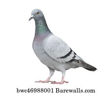Close up full body of speed racing pigeon bird isolated white