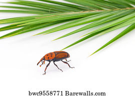 186 Red palm weevil Posters and Art Prints   Barewalls