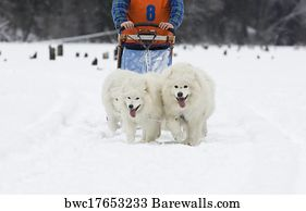 110 siberian samoyed posters and art prints barewalls siberian samoyed art print poster samoyed dogs dog sledge voltagebd Image collections