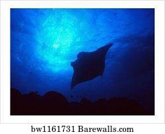 543e29a3b 991 Manta ray Posters and Art Prints | Barewalls