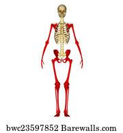 68 appendicular skeleton posters and art prints barewalls