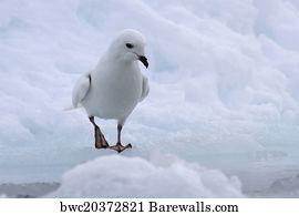 80 Snow petrel Posters and Art Prints | Barewalls