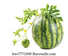 453 watermelon vine posters and art prints barewalls rh barewalls com Pumpkin Vine Watermelon Vine Guy