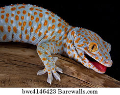 art print of tokay gecko with mouth open barewalls posters