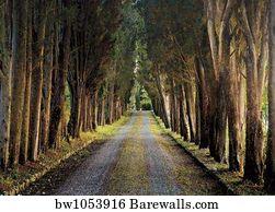 C Cypress Tree Tunnel Art Print Home Decor Wall Art Poster