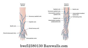 20 cephalic vein posters and art prints barewalls