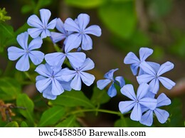 49 Blue vervain Posters and Art Prints | Barewalls