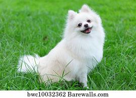 Art Print Of White Pomeranian Dog Barewalls Posters Prints