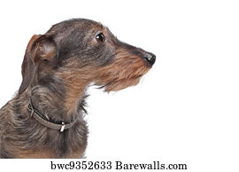 White Wire Haired Dachshund