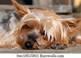 828 Yorkshire Terrier Long Hair Posters And Art Prints